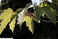 Acer rubrum 24zz.jpg