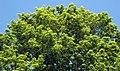 Acer saccharum (sugar maple) 6 (45605844394).jpg