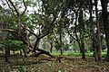 Acharya Jagadish Chandra Bose Indian Botanic Garden - Howrah 2011-02-20 1531.JPG