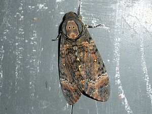 Acherontia styx - Image: Acherontia styx