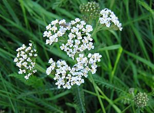 Common meadow yarrow (Achillea millefolium)