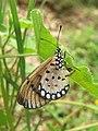 Acraea violae - Tawny Coster - Ovipositing at Peravoor 05.jpg