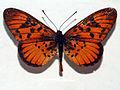 Acraeidae - Acraea petraea.JPG