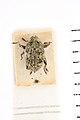 Aechmura emys Pascoe, 1874; Holotype; NHMUK0143779771; Dorsal habitus.jpg