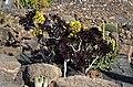 Aeonium arboreum 'Atropurpureum' 001.JPG