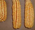 Aeroponic-biopharma-corn.jpg
