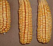Aeroponic-biopharma-corn