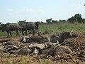 African Buffullos.jpg