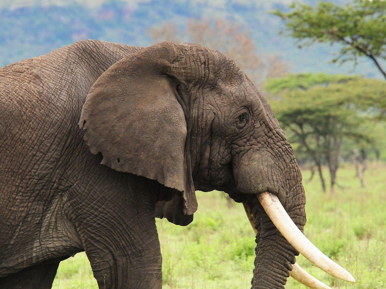African Elephant (3076998686).jpg