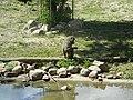 African Olive baboon Papio anubis1.JPG