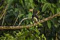 African Pied Hornbill - Ghana S4E2286 (16408486965).jpg