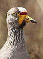 African Wattled Lapwing or Senegal Wattled Plover, Vanellus senegallus at Rietvlei Nature Reserve (13913703856).jpg