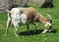 Afrikansk dvärgget (get) i Mössebergs djurpark 2599.jpg