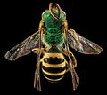 Agapostemon sericeus, M, back, Pr. Georges Co., Maryland 2014-01-20-13.16.jpg