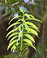 Agathis australis in Christchurch Botanic Gardens 06.jpg