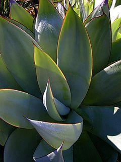 <i>Agave mitis</i> species of plant