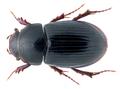Agolius abdominalis (Bonelli, 1812) Syn.- Aphodius (Agolius ) abdominalis (Bonelli, 1812) (2869507729).png