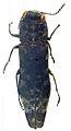 Agrilus mucidus holotype - ZooKeys-256-035-g002-22.jpeg