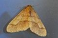 Agriopis.marginaria.-.lindsey.jpg