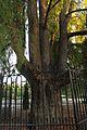 Ahuehuete, Taxodium mucronatum, en el parque de El Retiro, 1.jpg