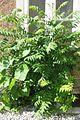 Ailanthusaltissima-3-6-09-LKHApotheke-15-04-E-MK-20771a.jpg