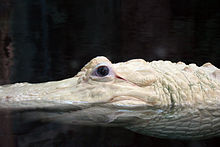 Tête d'un alligator blanc.