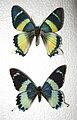 Alcidis agathyrsus & Papilio laglaizei.JPG