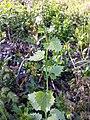 Alliaria petiolata sl9.jpg