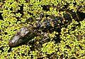 Alligator Baby, NPSPhoto, S.Zenner (9101427304).jpg