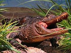 240px alligator sinensis specimen