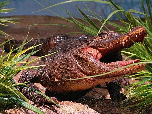 500px alligator sinensis specimen
