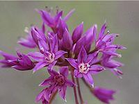 Allium Bisceptrum.jpg