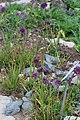 Allium sacculiferum Allium komarovianum GiardinoBotanicoAlpinoViote 20170902 B.jpg