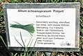 Allium schoenprasum Polyvit.jpg