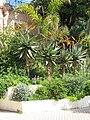 Aloe marlothii in Menton (overview).jpg