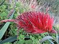 Aloe sp. Ribaue (5961390522).jpg