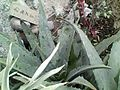 Aloe vera no tsukineko.jpg