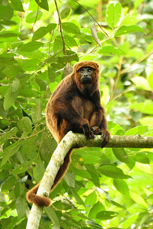 Howler monkey - Brown howler