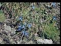 Alpenflora am Gornergrat 02.JPG