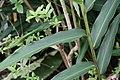 Alpinia nutans 11zz.jpg