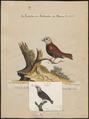 Amadina maja - 1700-1880 - Print - Iconographia Zoologica - Special Collections University of Amsterdam - UBA01 IZ15900175.tif