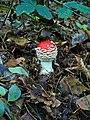 Amanita muscaria 002.JPG