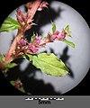 Amaranthus albus sl21.jpg