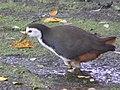 Amaurornis phoenicurus 1.jpg