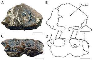 Amblydectes - A. crassidens holotype