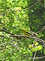 American Goldfinch (3483440353).jpg