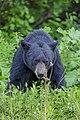 American black bear (Ursus americanus) - Jasper National Park 07.jpg