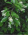 Amerikaanse vogelkers Prunus serotina closeup.jpg