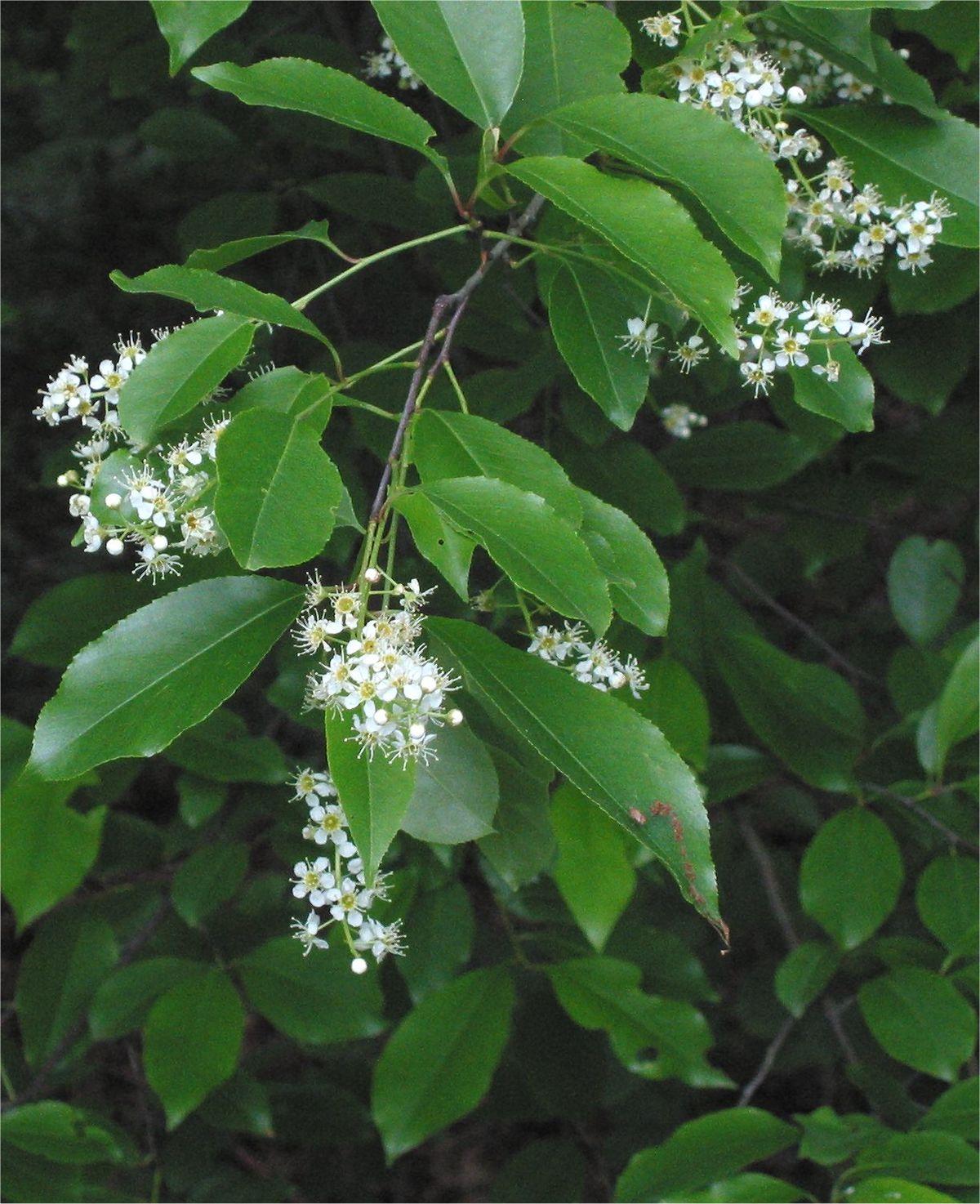 Prunus Serotina Wikipedia