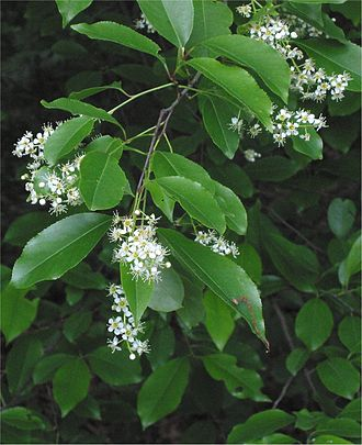 Prunus serotina - Flowers and leaves